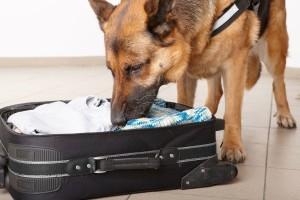 Собака нюхает багаж в аэропорту