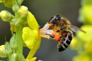 Пчела на желтом цветке