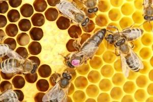 Пчела королева, обозначенная под номером 37