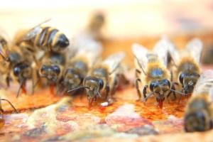 Пчелы кушают мед