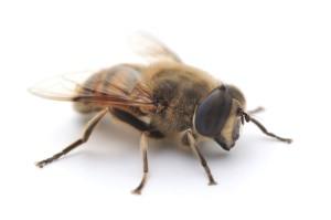 Трутень (мужская особь пчелы)
